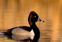 Ring-necked Duck (7560)