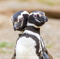 Magellanic Penguin 8778