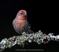 House Finch 5368