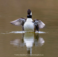 Hooded Merganser 8942