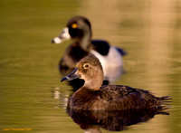 Ring-necked Duck (9415)