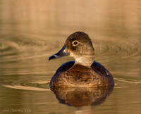 Ring-necked Duck (9399)