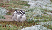Magellanic Penguin 2679
