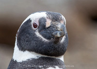 Magellanic Penguin 3301